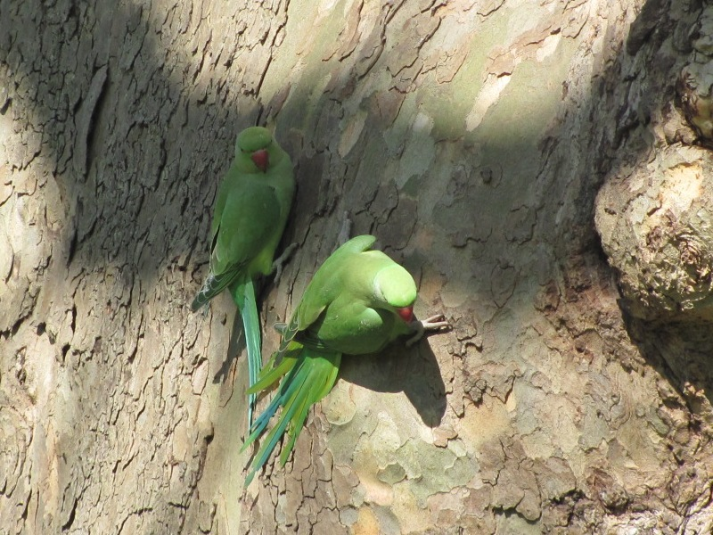 http://www.c8h10n4o2.org/walking/ring/fullsize/parakeets.jpg